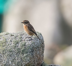 Scilly Stonechat
