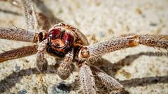 Decay (Crop) (Eddy Summers) Tags: lensbaby lensbabyvelvet velvet56 macro spider aussiespiders huntsman decay death dead battlepose arachnids vsco