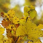 Foliage. Parco Nazionale della Majella. thumbnail