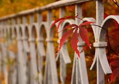 Autumn Fence (simson60) Tags: zaun hff herbst laub dof tiefenschärfe bokeh nikond7100 autumn fence