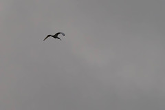 Solo (armct) Tags: ibis threskiornis molucca australian native indigenous bird large wader wading silhouette blackandwhite monochrome bill curved wingspan scavenger cloud morning alone solo flight flying currumbin creek distinctive icon ruleofthirds white