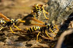 Swimming wasp (Carandoom) Tags: 2018 wasp yellow jacket macro close up sony alpha7 a7 iii insect