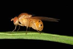 Sapromyza sexpunctata (chug14) Tags: macro insect insecte nature naturephotography animalia arthropoda hexapoda insecta diptera brachycera lauxaniidae sapromyza sapromyzasexpunctata unlimitedphotos