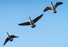 Flying away (2/2) : Time to leave the place (Franck Zumella) Tags: bird oiseau nature wildlife animal flight fly voler vol goose oie geese big canadian bernache sony a7s a7 tamron 150600