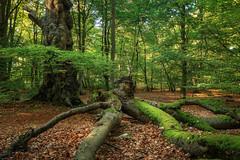 Darßwald (Petra Runge) Tags: herbst waldundbäume wald baum bäume buchen beeches woodland autumn nature natur dars