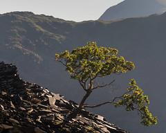 Foothold (jellyfire) Tags: landscape landscapephotography mountains sony sonya7r ze zeissdistagont18mmf35ze autumn clouds dinorwic leeacaster oak quarry sky slate snowdonia tree wales wwwleeacastercom zeiss
