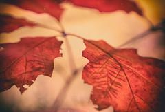 xIE (_elusive_mind_) Tags: blätter leaves herbst autumn colorfineart red simplicity stillleben