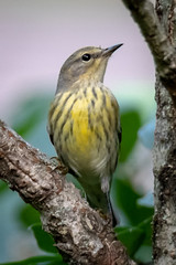 Female Cape May Warbler (tresed47) Tags: 2018 201810oct 20181010chestercountymisc birds canon7dmkii capemaywarbler chestercounty content fall folder home october pennsylvania peterscamera petersphotos places season takenby us warbler