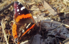 Red admiral (TJ Gehling) Tags: insect lepidoptera butterfly nymphalidae admiral admiralbutterfly redadmiral vanessa vanessaatalanta albanyhill albanyca