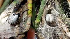 S_Family Theridiinae_Theridion theridioides_Comb-Footed spider_OxleyCommon (LaurieDryburgh) Tags: combfooted spider