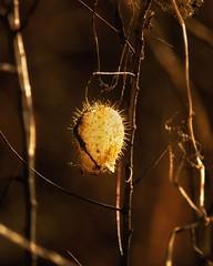 Wild Cucumber Seed pod (Backlit) (Bob's Digital Eye) Tags: canonefs55250mmf456isstm t3i bobsdigitaleye back30 macro flickr flicker depthoffield autumnallight autumn november2018 backlit