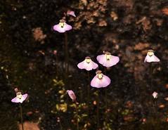 Fairies Aprons, Grampians, Victoria, Australia (Red Nomad OZ) Tags: grampians grampiansnationalpark outdoor victoria australia flower wildflower fairiesapron nature
