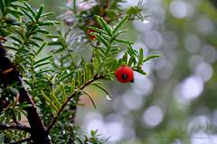 European yew (Taxus baccata) (Hrafn Photography) Tags: yew eibe idegran tree baum kiel deu deutschland cau christianalbrechtsuniversitätzukiel