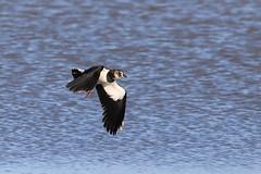 Lapwing (robin denton) Tags: alkboroughflats lincolnshire wildlife flock birds wetlands nature flight flying plover lapwing greenplover peewit vanellusvanellus