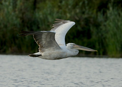 Dalmatian Pelican --- Pelecanus crispus (creaturesnapper) Tags: danubedelta romania europe waterbirds birds pelicans dalmatianpelican pelecanuscrispus