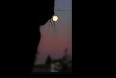 La lune — Nanterre, septembre 2018 (Stéphane Bily) Tags: stéphanebily chat cat moustache lune moon window fenêtre morning matin fullmoon lotte