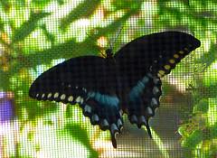 Spicebush Swallowtail (M.P.N.texan) Tags: butterflt spicebush swallowtail insect