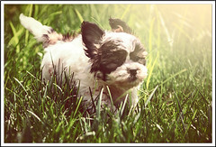 """Charlie"" (•tlc•photography•) Tags: dog canine teddybear shihtzu bichonfrise yard puppy run grass light green white brown black"