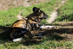 Afrikaanse wilde hond - African wild dog (Den Batter) Tags: nikon d7200 zooparc overloon wildehond afrikaansewildehond africanwilddog lycaonpictus