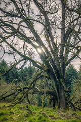 APC_0198-HDR-Edit (jbrownell) Tags: garden pacificnorthwest copse tree entropy heavy old woods aged overcast curated oregongardens oak cloudy iphone