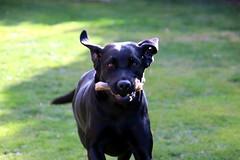 Labrador (bo-joerg) Tags: labrador canon eos 800d tamron18400 hund