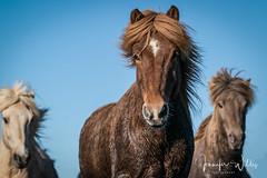 Best of Iceland-22 (photojen10) Tags: horses iceland kirkjufell snæfellsnes landscape mountain peninsula sonya9