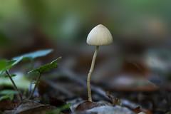 Mushroom - Vinderhoutse bossen - België (wietsej) Tags: bokeh macro sont sel100f28gm stf 100 a7rii a7rm2 paddenstoel fungus coth5