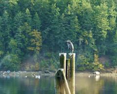 DSC00727 (andreavarju) Tags: nature naturephotography landscape landscapephotography autumn bird birdphotography heron greatblueheron ocean pier