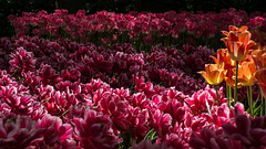 DSC09517 (gael.lebrun56) Tags: fleur colza rape beez flower macro insect lisse zuidholland paysbas nl