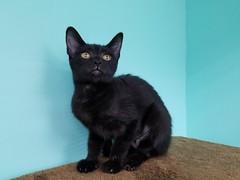 Hawaii Cat Cafe: I wanted to adopt her <3 (Tabo Kishimoto) Tags: hawaiicatcafe cats gato neko popoki katzen chat catcafe blackcat kitten