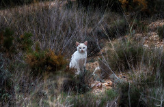 "Gato ""Campestre"" (candi...) Tags: gato campo bosque animaldecompañía mascota airelibre naturaleza nature fauna sonya77 hierba monte"
