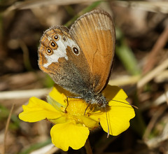 F36A7504_DxO_full (solkatt64) Tags: butterfly insect macro nature