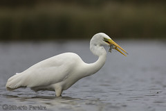 Egretta alba (LdrGilberto) Tags: egretta alba garçabrancagrande great egret bird ave hidrohide nature natureza wild free ardeaalba greatwhiteegret greategret