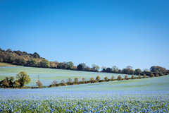 Flax Fields (Jez22) Tags: flax fields hollingbourne kent blue color bright copyright jeremysage