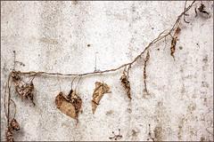 Resignation (Eva Haertel) Tags: eva haertel herbst autumn blätter laub leaves trocken dry struktur structure mauer wand wall kletterpflanze climbingplant climbing detail stadt city strase street