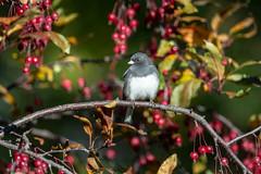 Dark-eyed Junco-48867.jpg (Mully410 * Images) Tags: birdwatching birding backyard junco darkeyedjunco birds crabapple birder bird