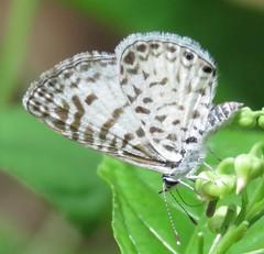 Leptotes cassius (Birdernaturalist) Tags: bolivia butterfly lepidoptera lycaenidae polyommatinae richhoyer