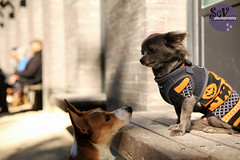 43|52 weeks of Blue - Bad idea (sgv cats and dogs) Tags: 52weeksfordogs chihuahua dogpark washingtonsquarepark bigdogs bench escape encounter sweater pumpkin halloween harness manhattan newyork autumn fall