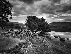Twisted Tree (G V Fennell) Tags: blackandwhite cumbria derwentwater keswick lake lakedistrict landscape mono nikond810 reflections rocks trees water