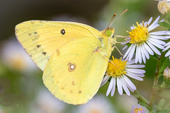 Clouded Sulfur on Fleabane (tresed47) Tags: 2018 201810oct 20181010chestercountymisc butterflies canon7dmkii chestercounty cloudedsulfur content fall folder insects marshcreek october pennsylvania peterscamera petersphotos places season sulfur takenby us