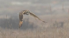 Short-eared Owl (Asio flammeus) (Tony Varela Photography) Tags: asioflammeus canon owl photographertonyvarela seow shortearedowl owlinflight shortearedowlflight