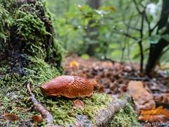 Slug (wketsch) Tags: at autumn graz nature rain allegra evening mariatrost slug forest moos