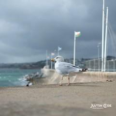 Straight out of my Fujifilm x pro1 seagull at Torquay harbour. #travelling #traveler #tourism #travelingram #igtravel #europe #traveller #travelblog #tourist #travelblogger #traveltheworld #roadtrip #instatraveling #instapassport #instago #여행 #outdoors #o (justin.photo.coe) Tags: ifttt instagram straight out fujifilm x pro1 seagull torquay harbour travelling traveler tourism travelingram igtravel europe traveller travelblog tourist travelblogger traveltheworld roadtrip instatraveling instapassport instago 여행 outdoors ocean mytravelgram traveladdict seagulls bird justinphotocoe