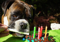 Happy Birthday Kahn! (Painful, slow internet:() Tags: boxer dog brindle kahn birthday 5years smileonsaturday happywords happybirthday candles happytrails fridgemagnet usa