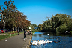 Feeding the Wildlife... (MickyFlick) Tags: river rivernene wellingborough northants northamptonshire england uk mickyflick embankment riverbank swans ducks birds fishermen fishing feedingthebirds