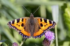Aglais urticae (Ouwesok) Tags: canoneos80d tamron5063150600mm aglaisurticae kleinevos vlinder insect oostvaardersveld