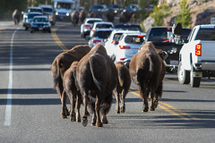 2018-09-trip-3-yellowstone-4-wildlife-mjl-19 (Mike Legeros) Tags: wyoming yellowstone nationalpark bison bisonjam buffaloroam