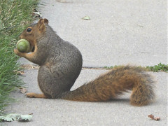 Longmont, CO, Visiting Friends, Red Squirrel with Acorn (Mary Warren 11.3+ Million Views) Tags: longmontco nature acorn nut seed fauna animal mammal squirrel redsquirrel