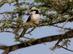 Northern White-crowned Shrike (steinerattila) Tags: ethiopia birds shrike