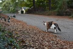 Gracie Jo ends the photo session (rootcrop54) Tags: graciejo neighbor neighbors female dilute calico cat street leaves neko macska kedi 猫 kočka kissa γάτα köttur kucing gatto 고양이 kaķis katė katt katze katzen kot кошка mačka gatos maček kitteh chat ネコ